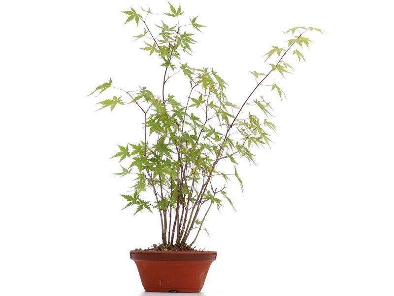 Acer palmatum, 39 cm, ± 5 jaar oud