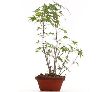 Acer palmatum, 37 cm, ± 5 years old