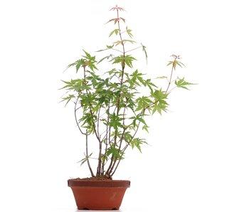 Acer palmatum, 36 cm, ± 5 years old