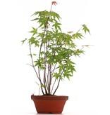 Acer palmatum, 34 cm, ± 5 jaar oud