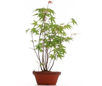 Acer palmatum, 34 cm, ± 5 years old