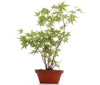 Acer palmatum, 35 cm, ± 5 years old