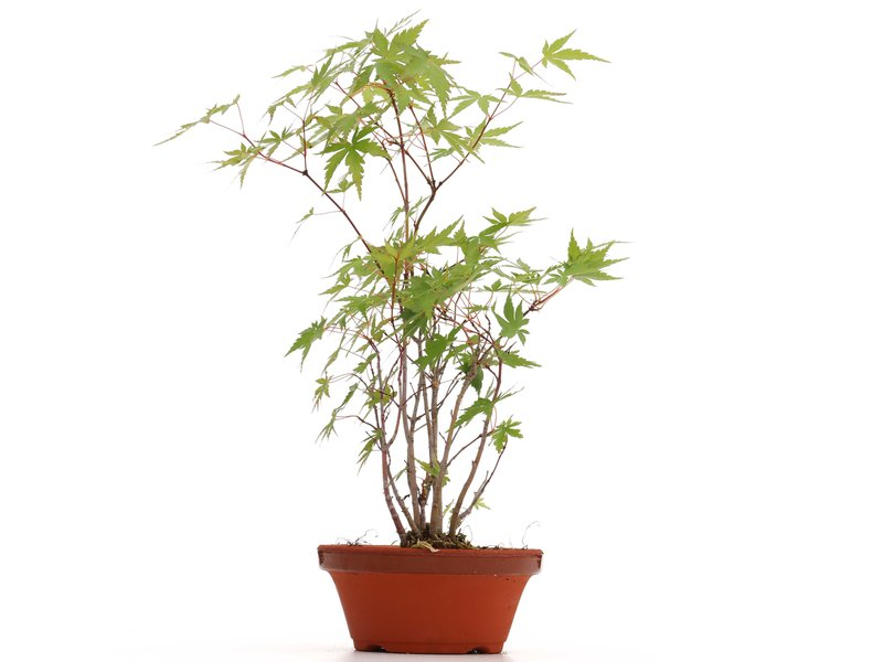 Acer palmatum, 35 cm, ± 5 jaar oud