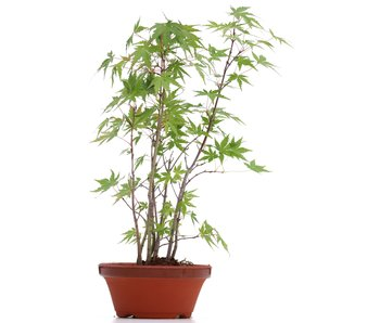 Acer palmatum, 33 cm, ± 5 años