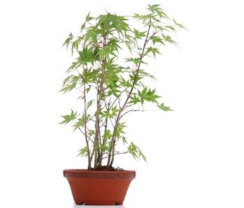 Acer palmatum, 33 cm, ± 5 years old