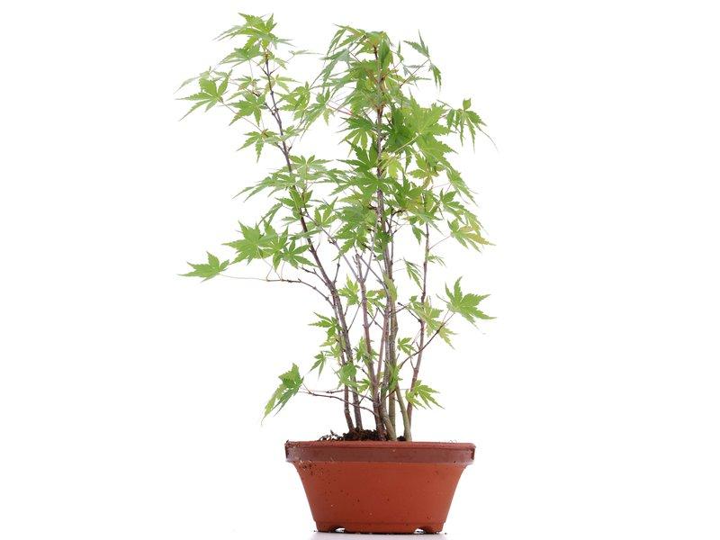 Acer palmatum, 33 cm, ± 5 jaar oud