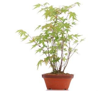 Acer palmatum, 30 cm, ± 5 años