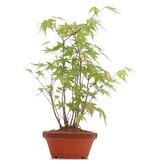 Acer palmatum, 30 cm, ± 5 jaar oud