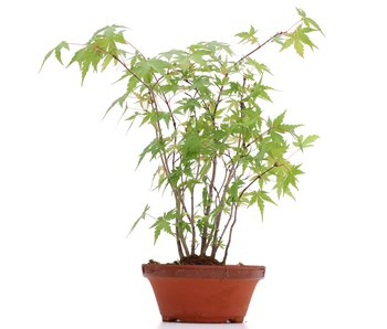 Acer palmatum, 29 cm, ± 5 years old