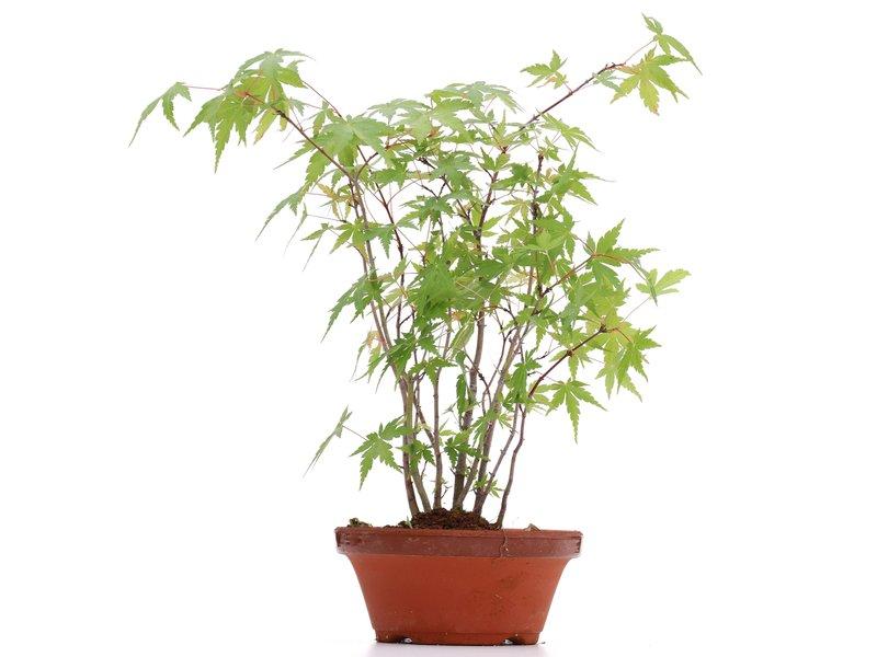 Acer palmatum, 29 cm, ± 5 jaar oud