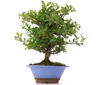 Pyracantha, 30 cm, ± 12 years old