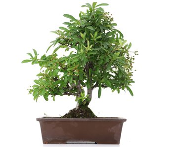 Pyracantha, 33 cm, ± 10 years old