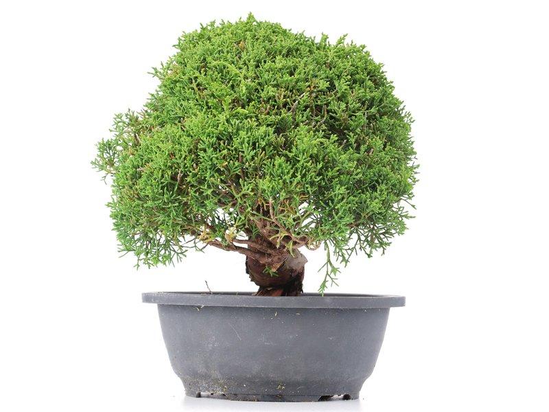 Juniperus chinensis Kishu, 25 cm, ± 15 jaar oud