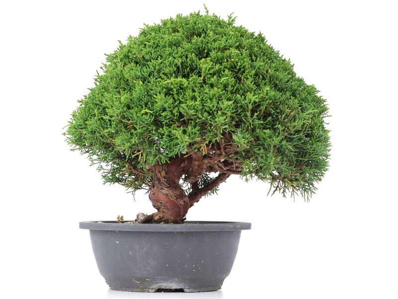 Juniperus chinensis Kishu, 26 cm, ± 15 jaar oud