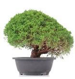 Juniperus chinensis Kishu, 23 cm, ± 15 jaar oud
