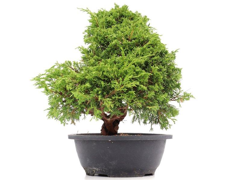 Juniperus chinensis Itoigawa, 32 cm, ± 20 jaar oud