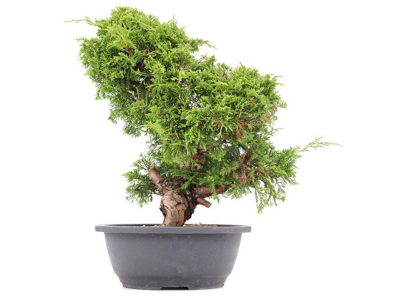 Juniperus chinensis Itoigawa, 33 cm, ± 20 jaar oud