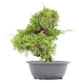 Juniperus chinensis Itoigawa, 27 cm, ± 20 jaar oud