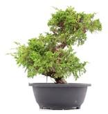 Juniperus chinensis Itoigawa, 29 cm, ± 20 jaar oud