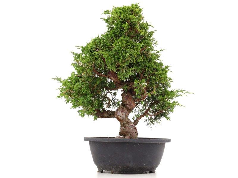 Juniperus chinensis Itoigawa, 35 cm, ± 20 jaar oud