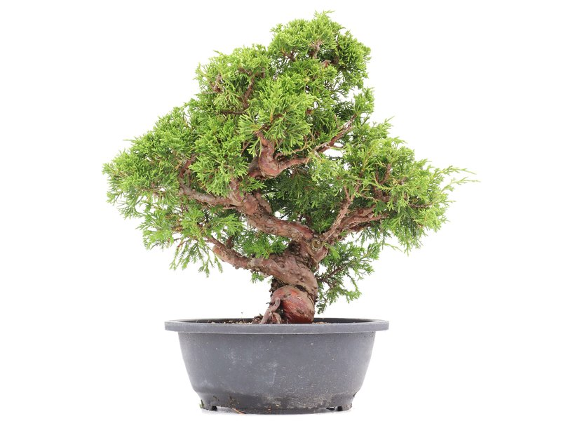 Juniperus chinensis Itoigawa, 31 cm, ± 20 jaar oud