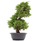 Juniperus chinensis Itoigawa, 39 cm, ± 20 jaar oud
