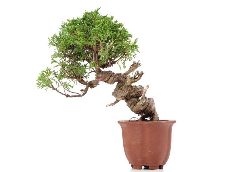 Juniperus chinensis Itoigawa, 23 cm, ± 18 jaar oud, met interessante jin en shari