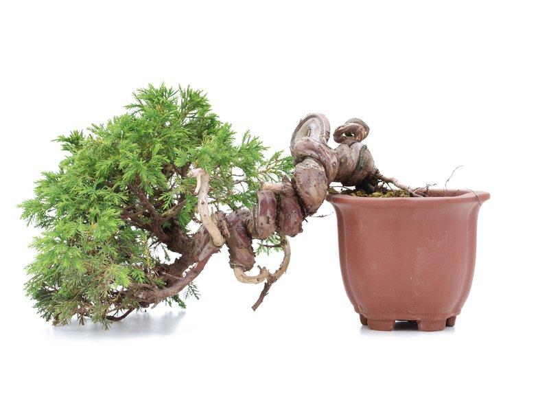 Juniperus chinensis Itoigawa, 16 cm, ± 18 jaar oud, met interessante jin en shari