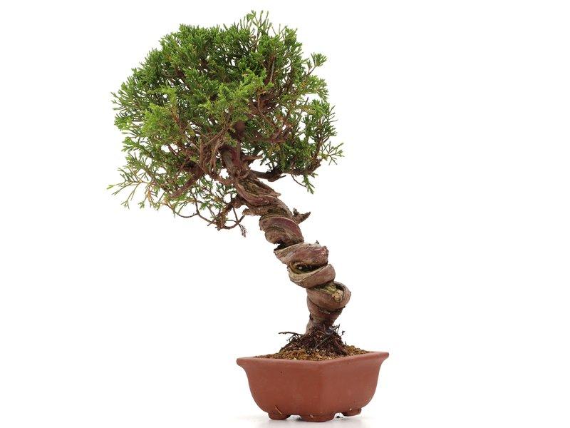 Juniperus chinensis Itoigawa, 29 cm, ± 18 jaar oud, met interessante jin en shari
