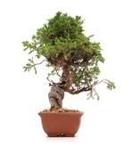 Juniperus chinensis Itoigawa, 22 cm, ± 18 jaar oud, met interessante jin en shari