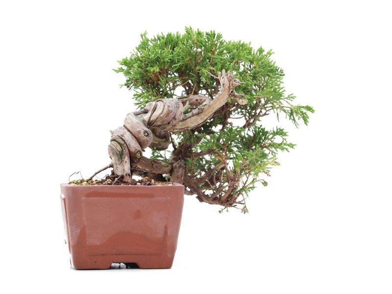 Juniperus chinensis Itoigawa, 15 cm, ± 18 jaar oud, met interessante jin en shari