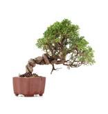 Juniperus chinensis Itoigawa, 21 cm, ± 18 jaar oud, met interessante jin en shari