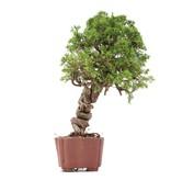 Juniperus chinensis Itoigawa, 28 cm, ± 18 jaar oud, met interessante jin en shari