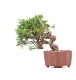 Juniperus chinensis Itoigawa, 17 cm, ± 18 jaar oud, met interessante jin en shari