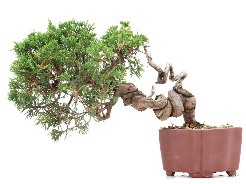 Juniperus chinensis Itoigawa, 18 cm, ± 18 jaar oud, met interessante jin en shari