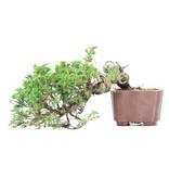 Juniperus chinensis Itoigawa, 13 cm, ± 18 jaar oud, met interessante jin en shari