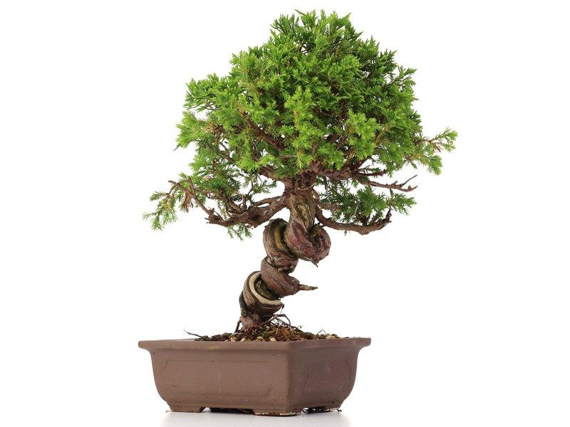 Juniperus chinensis Itoigawa, 24 cm, ± 18 years old, with interesting jin and shari