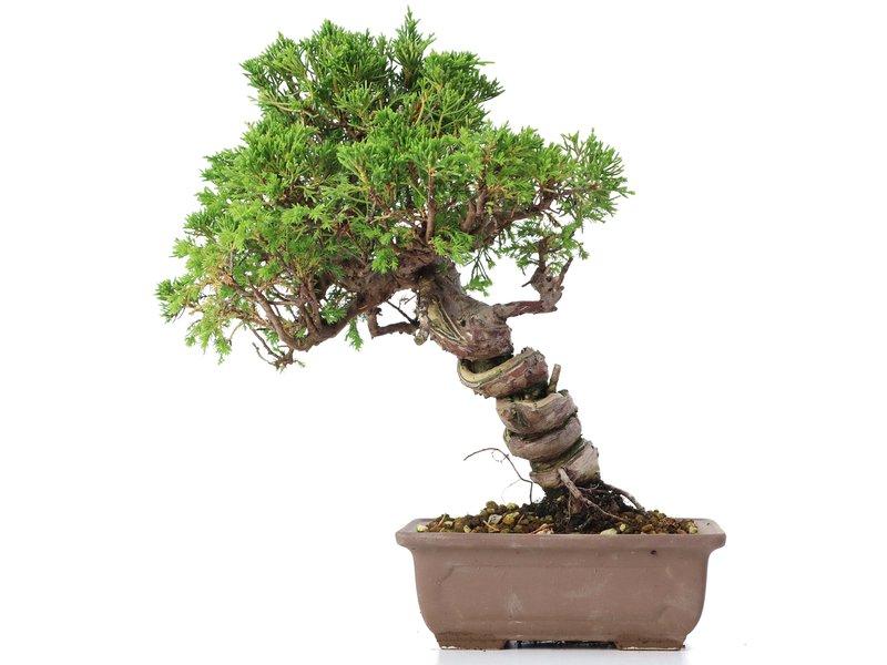 Juniperus chinensis Itoigawa, 24 cm, ± 18 jaar oud, met interessante jin en shari