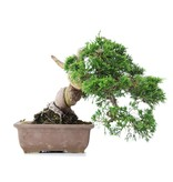Juniperus chinensis Itoigawa, 17 cm, ± 20 jaar oud, met interessante jin en shari