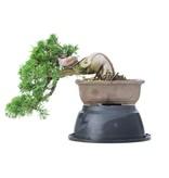 Juniperus chinensis Itoigawa, 18 cm, ± 20 jaar oud, met interessante jin en shari