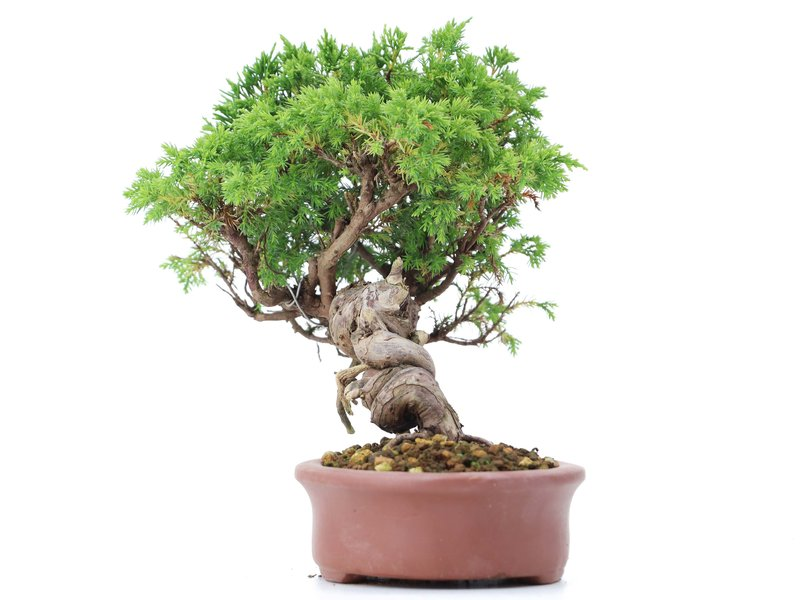 Juniperus chinensis Itoigawa, 20 cm, ± 18 jaar oud, met interessante jin en shari