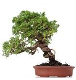 Juniperus chinensis Itoigawa, 27 cm, ± 18 jaar oud, met interessante jin en shari