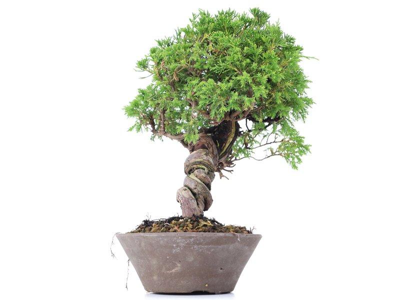 Juniperus chinensis Itoigawa, 26 cm, ± 18 jaar oud, met interessante jin en shari