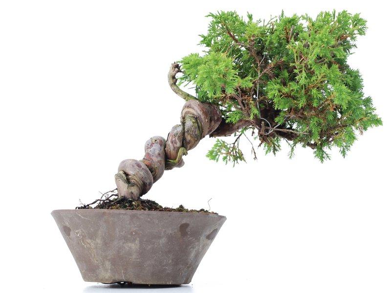 Juniperus chinensis Itoigawa, 19 cm, ± 18 jaar oud, met interessante jin en shari