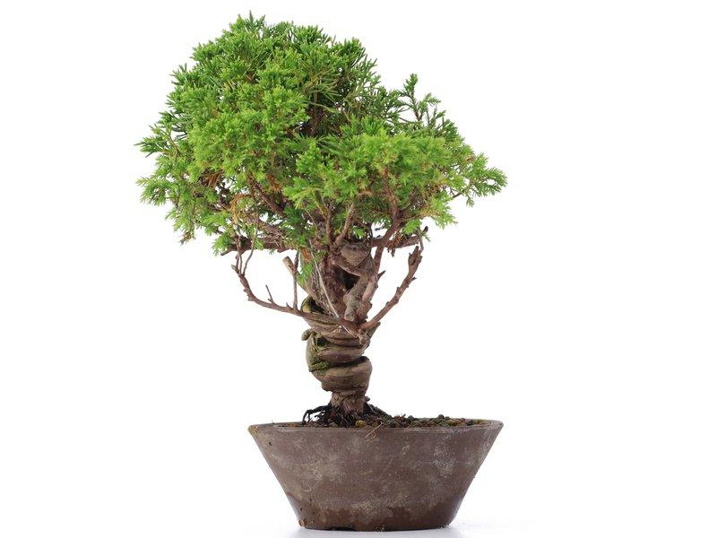Juniperus chinensis Itoigawa, 25 cm, ± 18 jaar oud, met interessante jin en shari