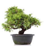 Juniperus chinensis Itoigawa, 29 cm, ± 20 jaar oud, met interessante jin en shari