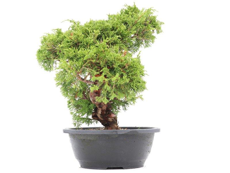 Juniperus chinensis Itoigawa, 30 cm, ± 20 jaar oud, met interessante jin en shari