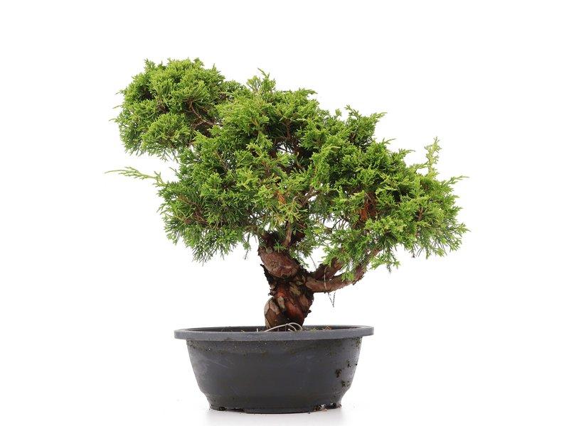 Juniperus chinensis Itoigawa, 24 cm, ± 20 jaar oud, met interessante jin en shari