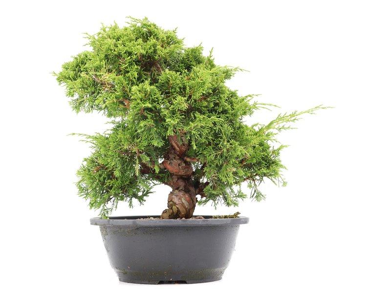 Juniperus chinensis Itoigawa, 27 cm, ± 20 jaar oud, met interessante jin en shari