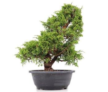 Juniperus chinensis Itoigawa, 33 cm, ± 20 años